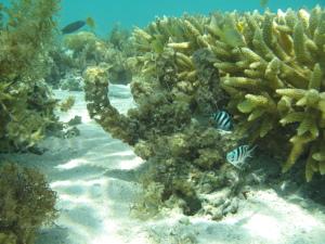 Reef flat community at Heron Island reef (D. Bender-Champ, CC-BY-SA)