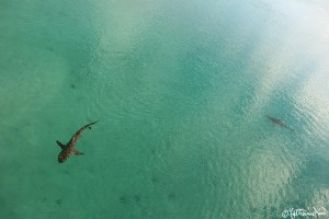 Blacktip sharks at Heron Island